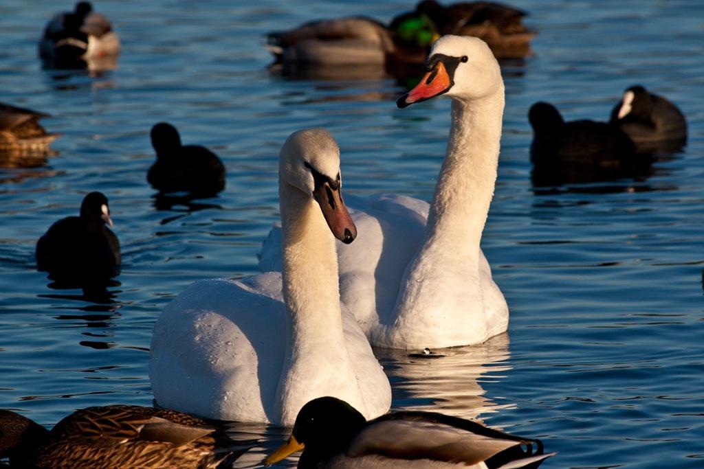 Enten und Schwäne im Winter …